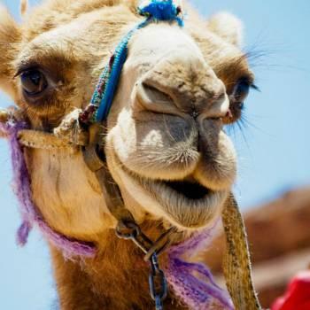 Kamelen inhuren of boeken