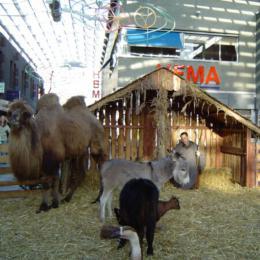 Levende Kerststal met echte kameel inhuren of boeken | JB Productions