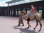 Fotoalbum van Kamelen verhuur | Kindershows.nl